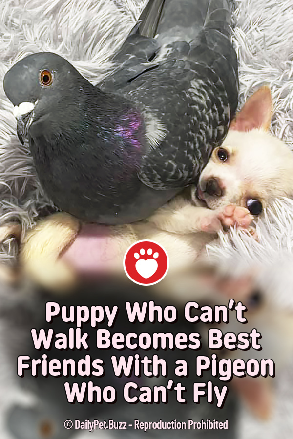 Puppy Who Can\'t Walk Becomes Best Friends With a Pigeon Who Can\'t Fly