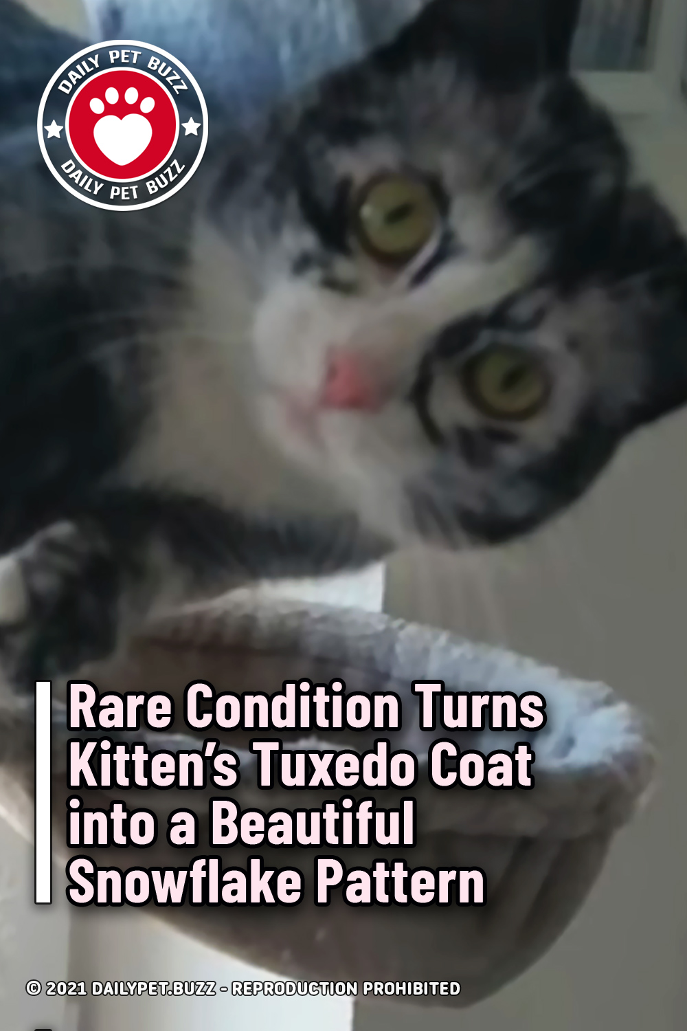 Rare Condition Turns Kitten's Tuxedo Coat into a Beautiful Snowflake Pattern