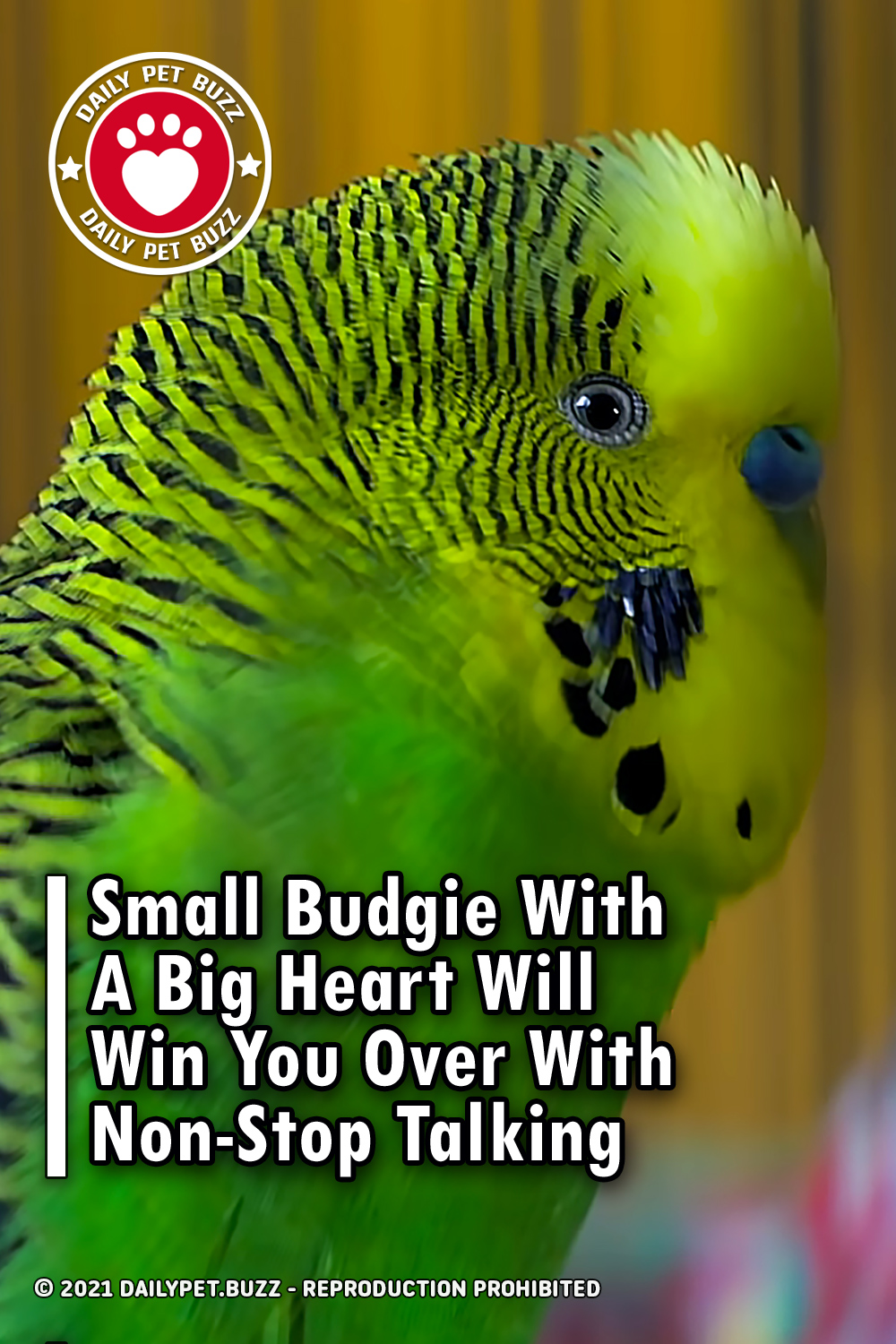 Small Budgie With A Big Heart Will Win You Over With Non-Stop Talking