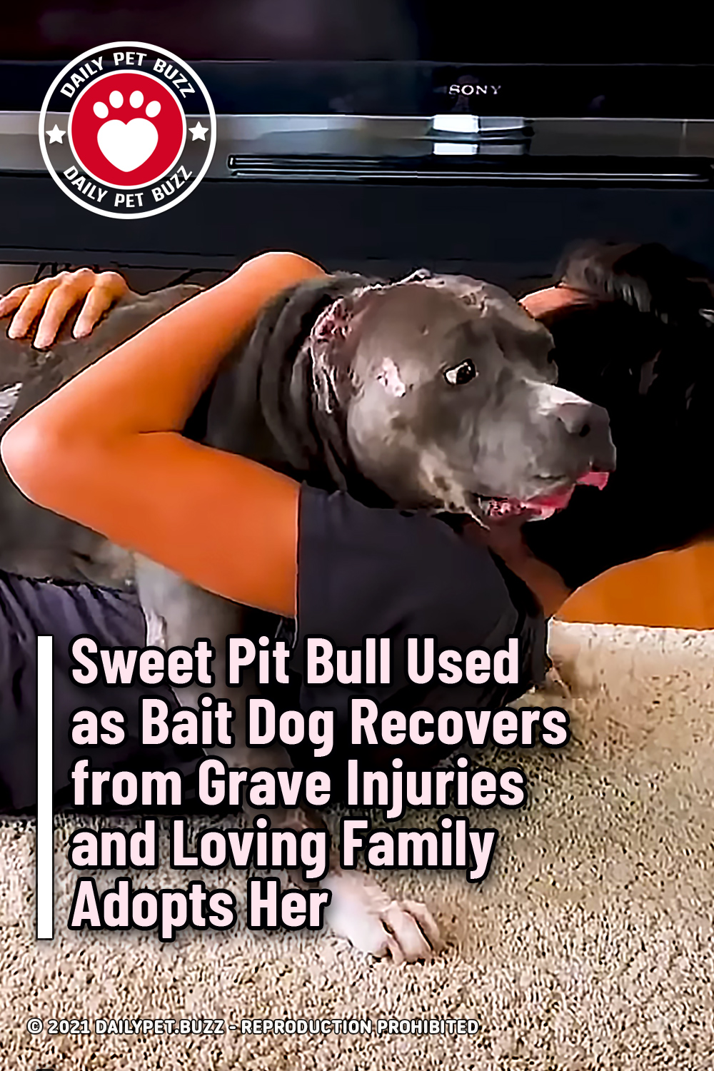 Sweet Pit Bull Used as Bait Dog Recovers from Grave Injuries and Loving Family Adopts Her