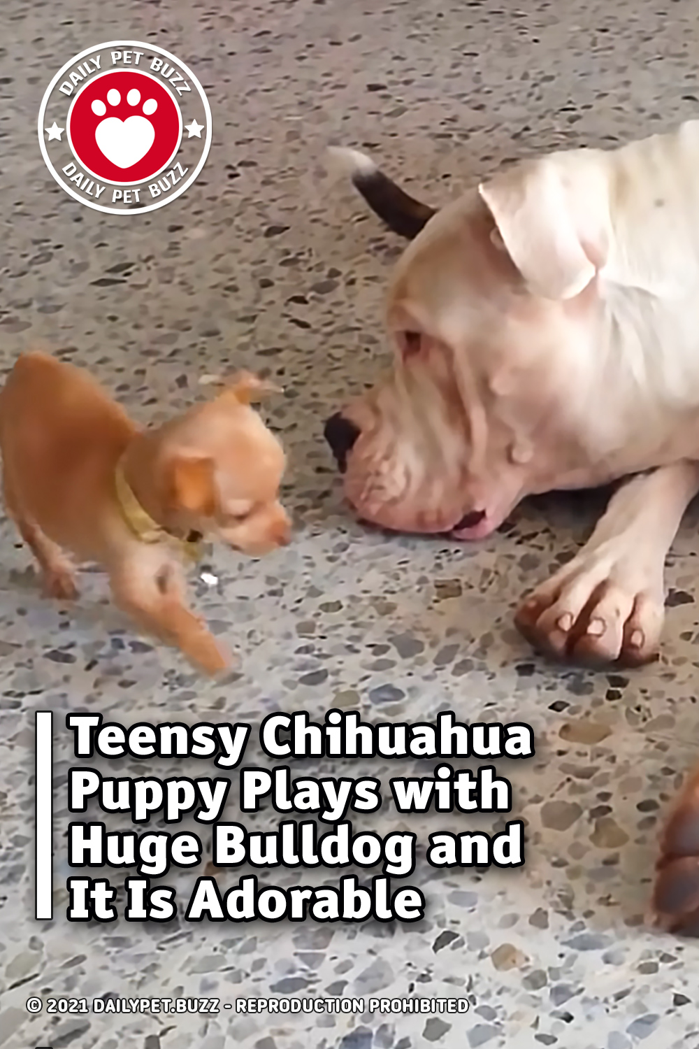 Teensy Chihuahua Puppy Plays with Huge Bulldog and It Is Adorable