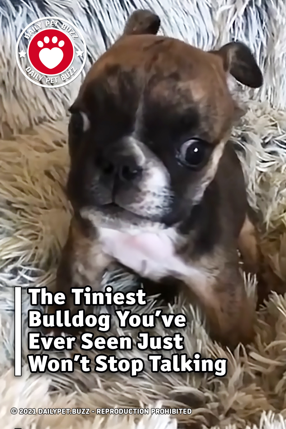 The Tiniest Bulldog You\'ve Ever Seen Just Won\'t Stop Talking