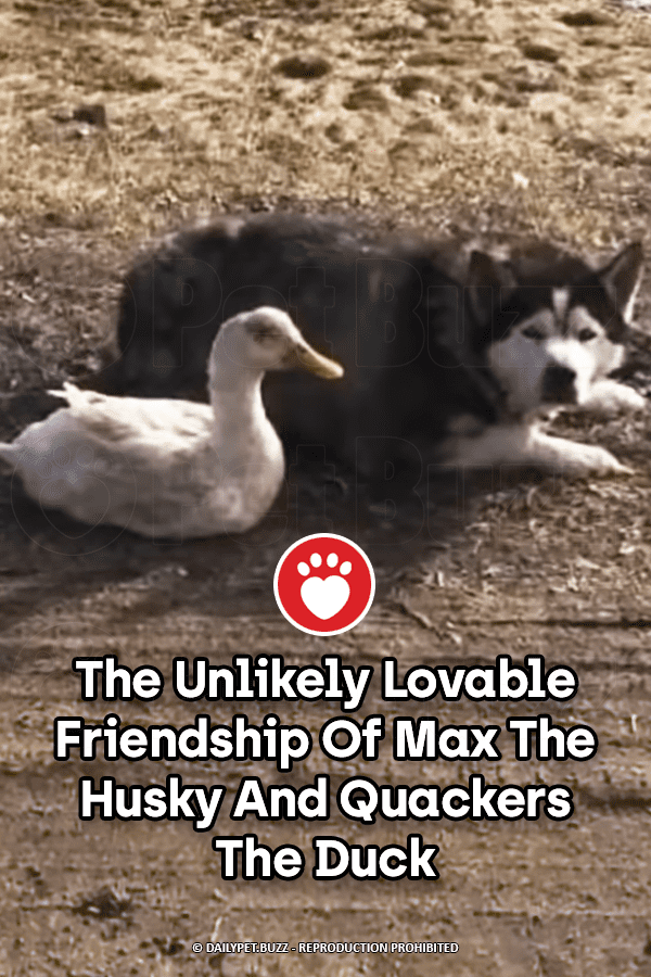 The Unlikely Lovable Friendship Of Max The Husky And Quackers The Duck