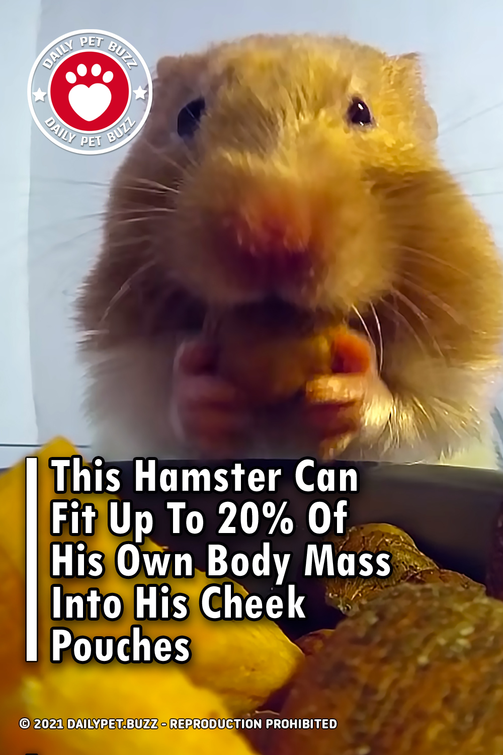 This Hamster Can Fit Up To 20% Of His Own Body Mass Into His Cheek Pouches