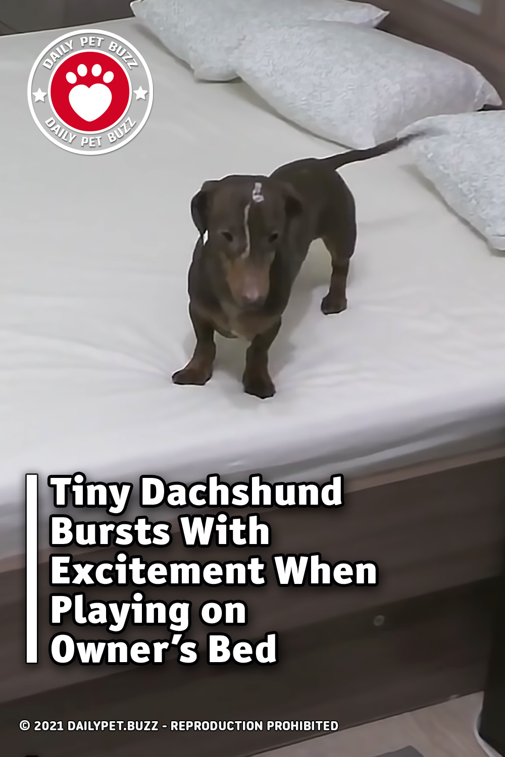 Tiny Dachshund Bursts With Excitement When Playing on Owner\'s Bed