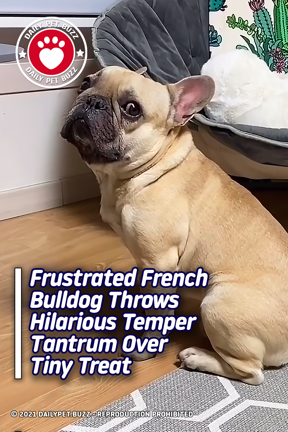 Frustrated French Bulldog Throws Hilarious Temper Tantrum Over Tiny Treat