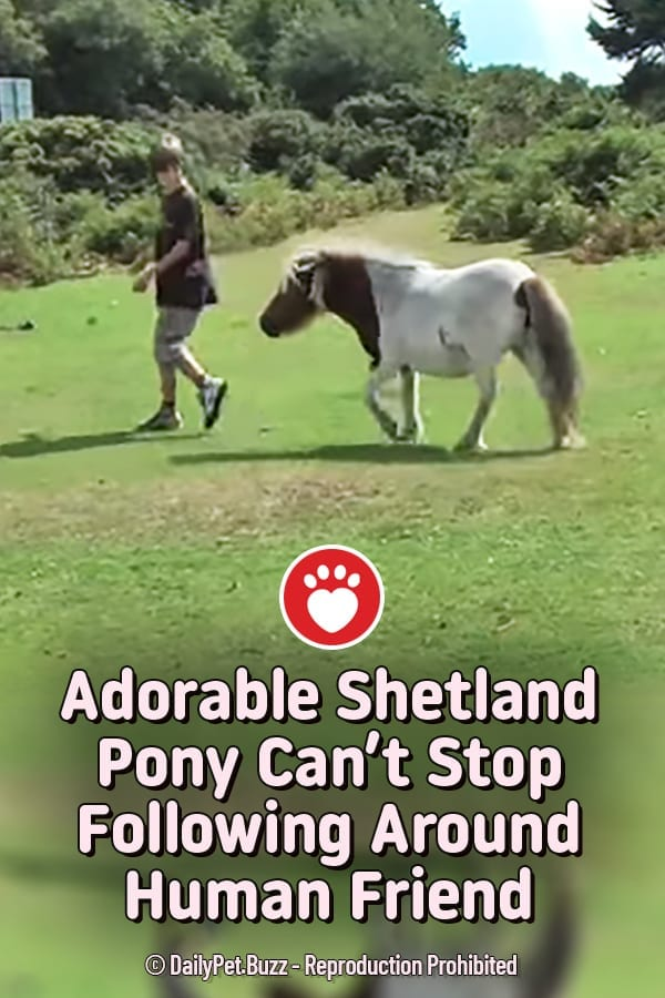 Adorable Shetland Pony Can't Stop Following Around Human Friend