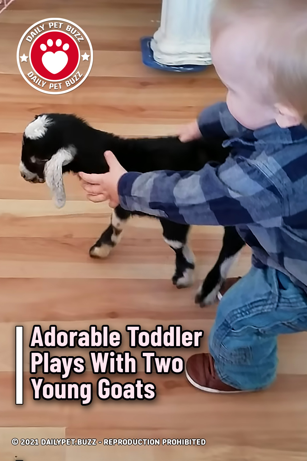 Adorable Toddler Plays With Two Young Goats