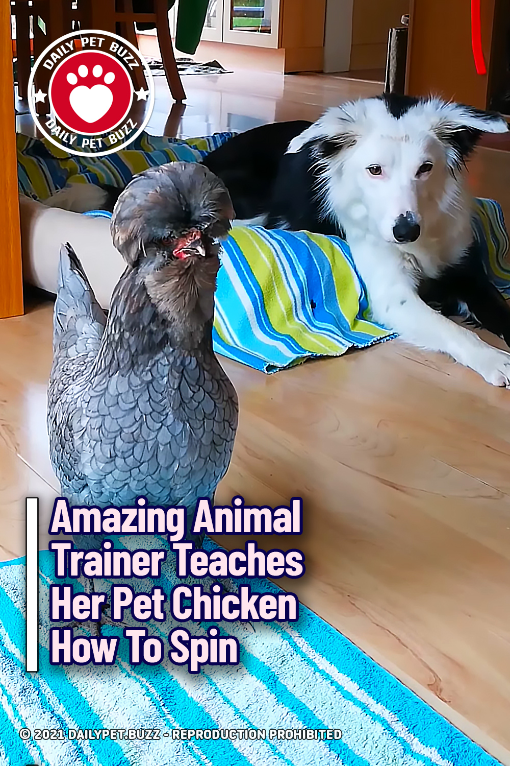 Amazing Animal Trainer Teaches Her Pet Chicken How To Spin