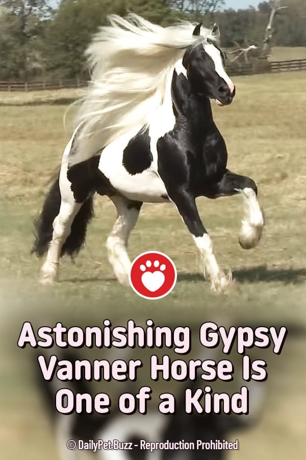 Astonishing Gypsy Vanner Horse Is One of a Kind