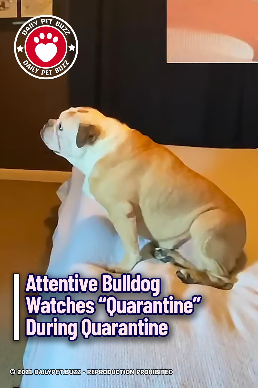 "Attentive Bulldog Watches ""Quarantine"" During Quarantine"