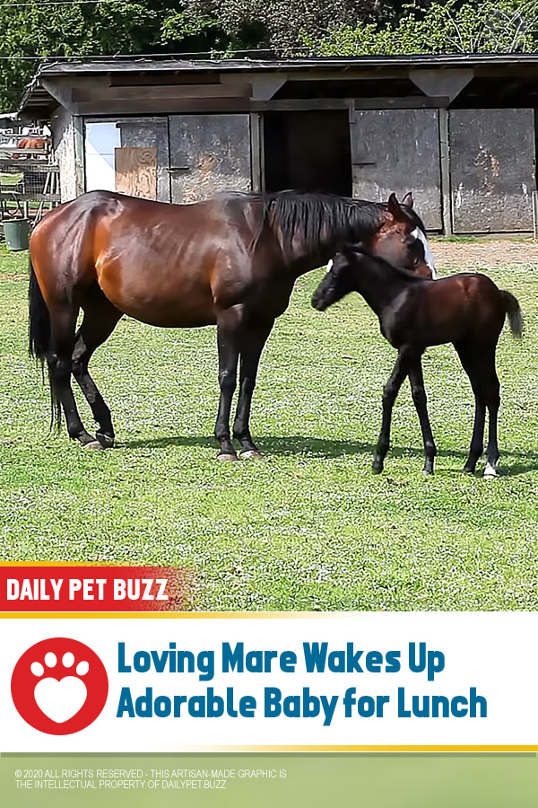 Loving Mare Wakes Up Adorable Baby for Lunch