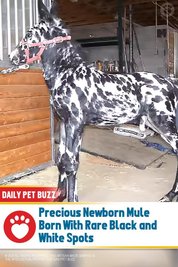 Precious Newborn Mule Born With Rare Black and White Spots