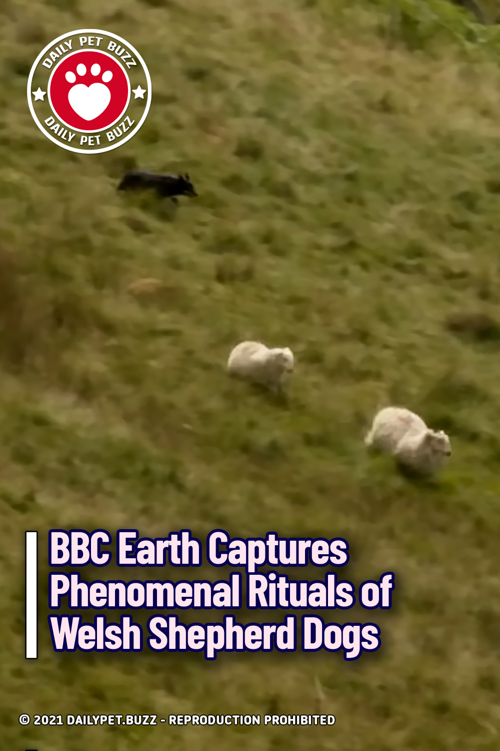BBC Earth Captures Phenomenal Rituals of Welsh Shepherd Dogs