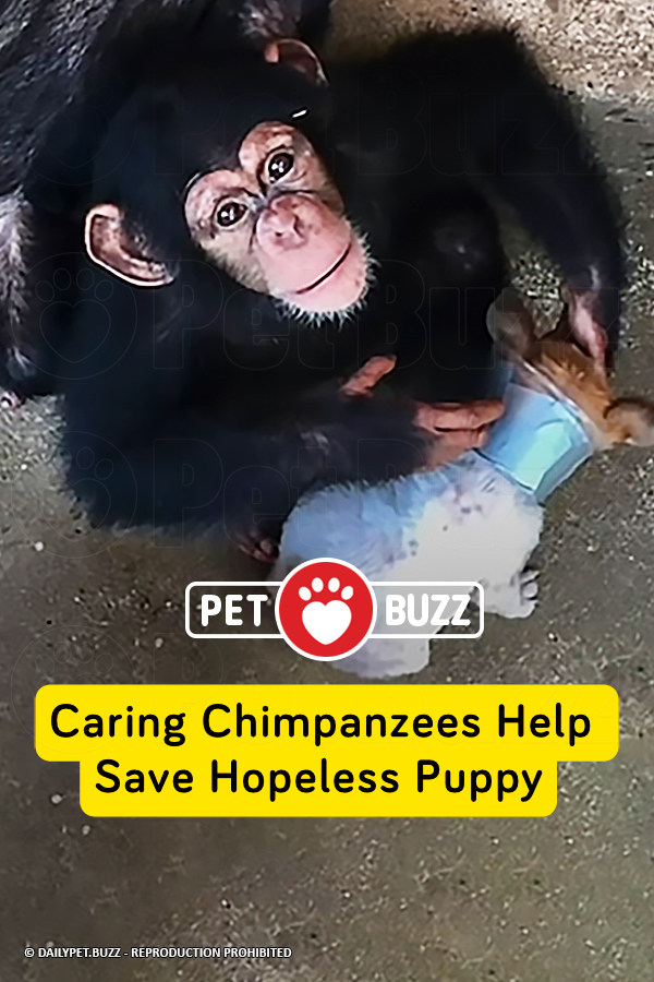 Caring Chimpanzees Help Save Hopeless Puppy