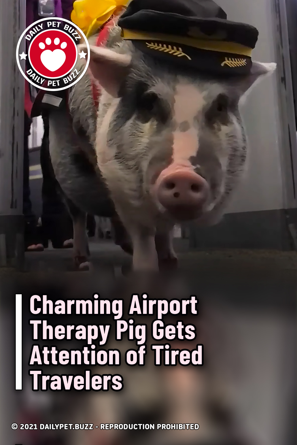 Charming Airport Therapy Pig Gets Attention of Tired Travelers