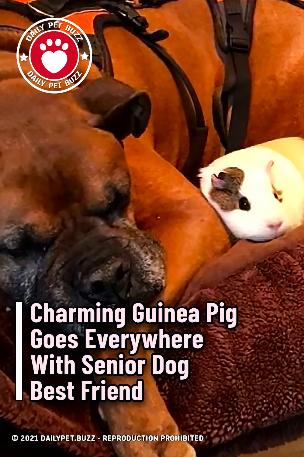 Charming Guinea Pig Goes Everywhere With Senior Dog Best Friend