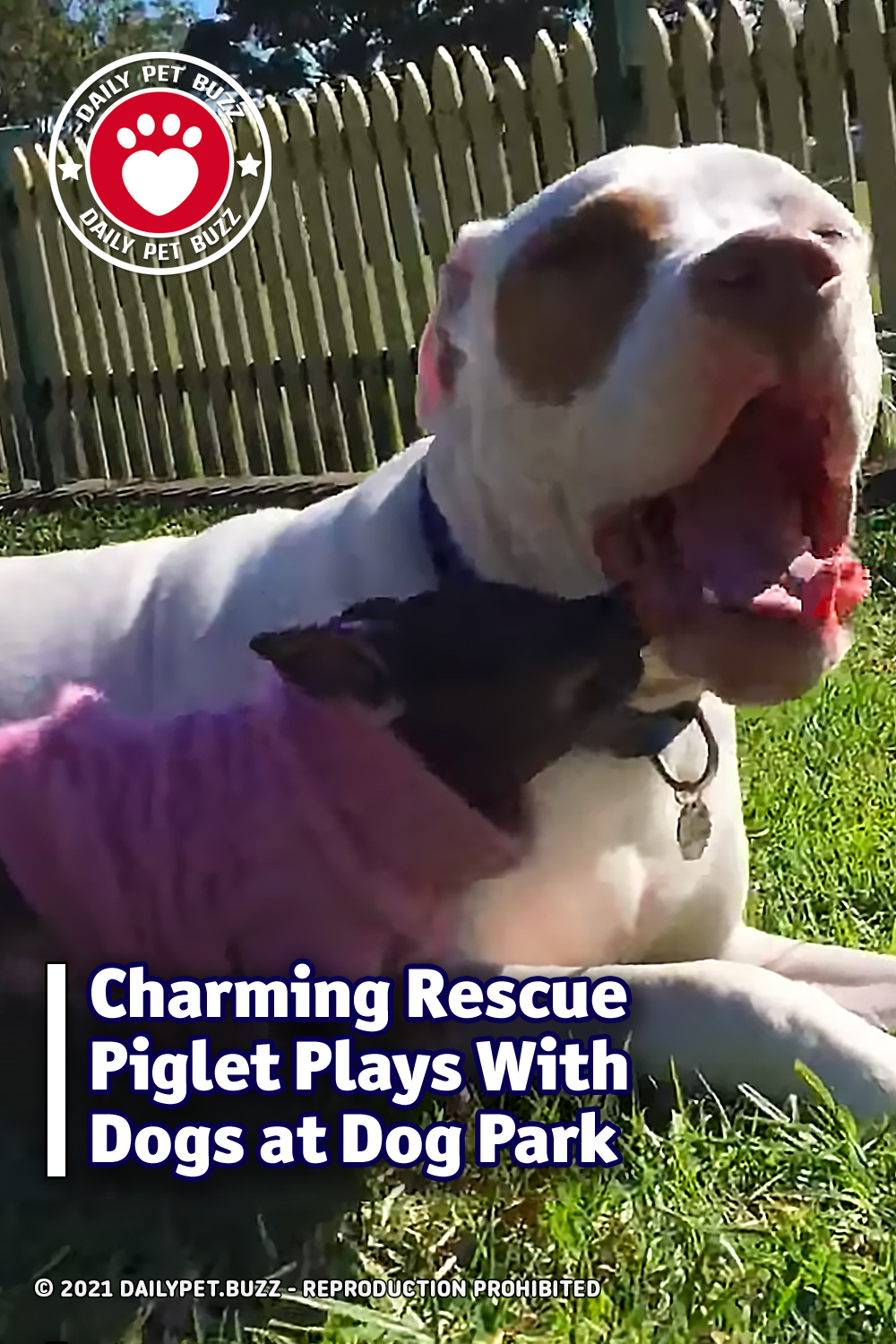 Charming Rescue Piglet Plays With Dogs at Dog Park