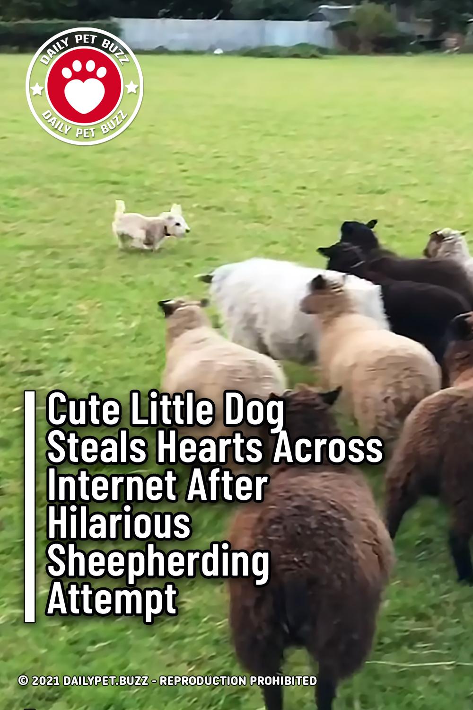 Cute Little Dog Steals Hearts Across Internet After Hilarious Sheepherding Attempt