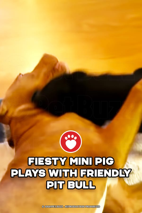 Fiesty Mini Pig Plays With Friendly Pit Bull