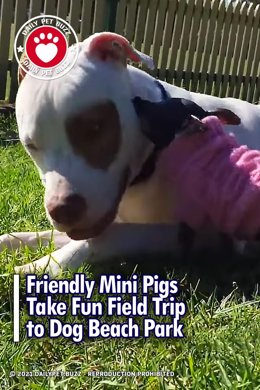 Friendly Mini Pigs Take Fun Field Trip to Dog Beach Park