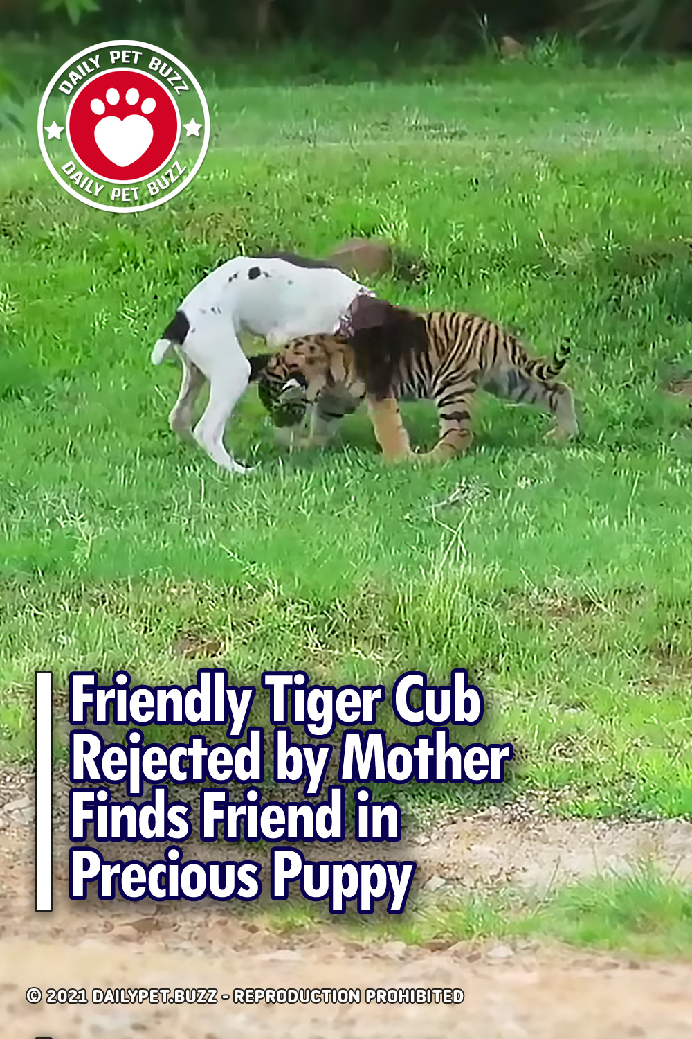 Friendly Tiger Cub Rejected by Mother Finds Friend in Precious Puppy