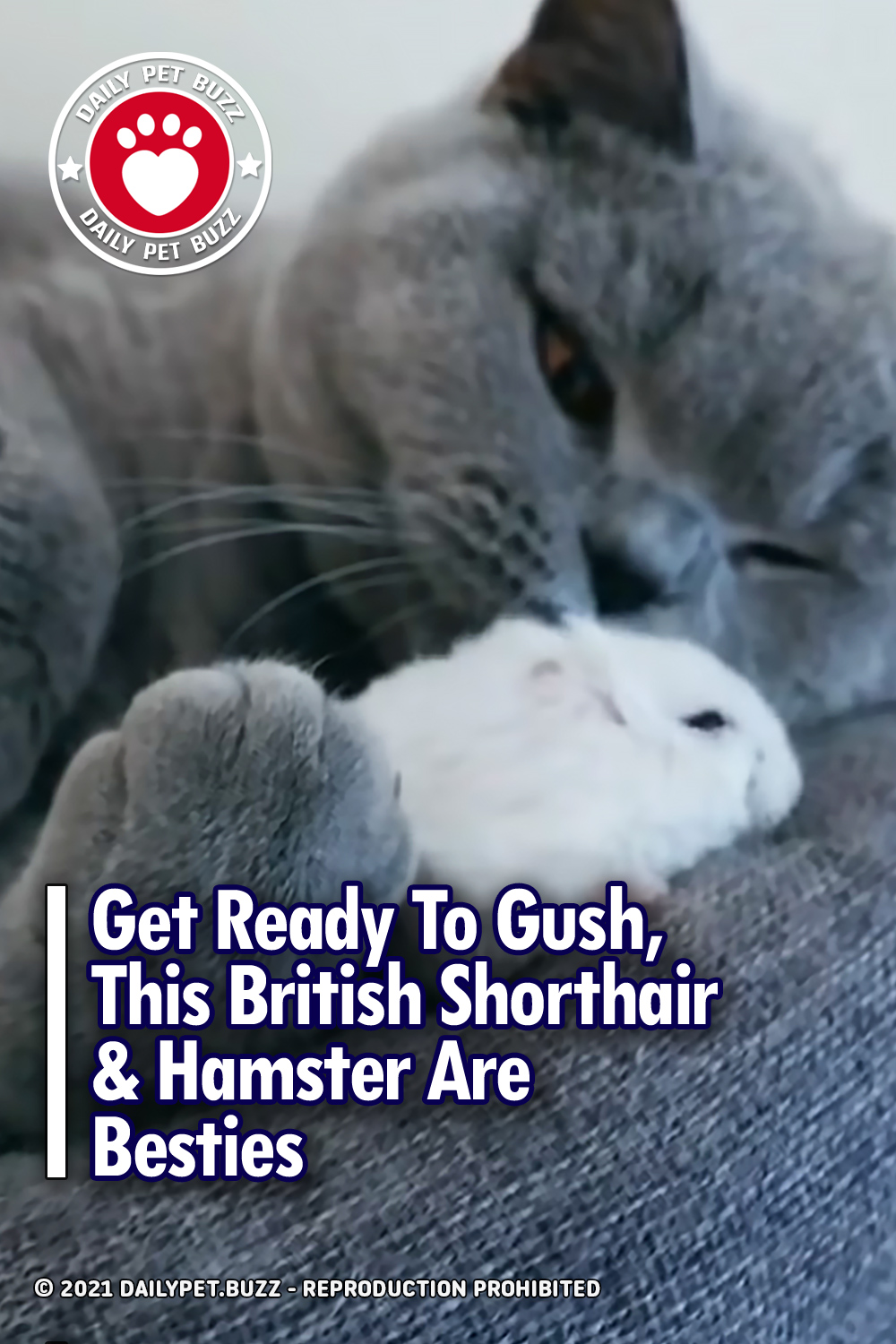 Get Ready To Gush, This British Shorthair & Hamster Are Besties