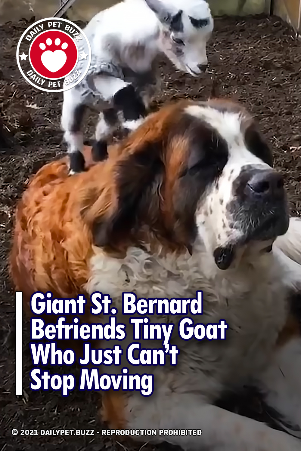 Giant St. Bernard Befriends Tiny Goat Who Just Can't Stop Moving