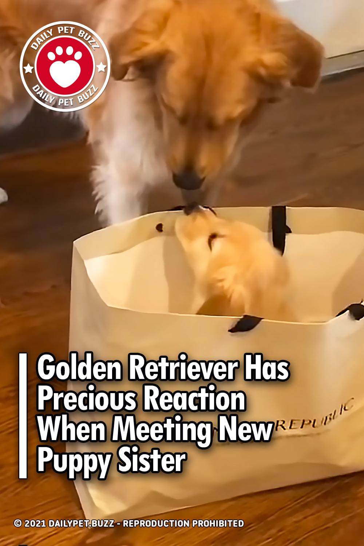 Golden Retriever Has Precious Reaction When Meeting New Puppy Sister