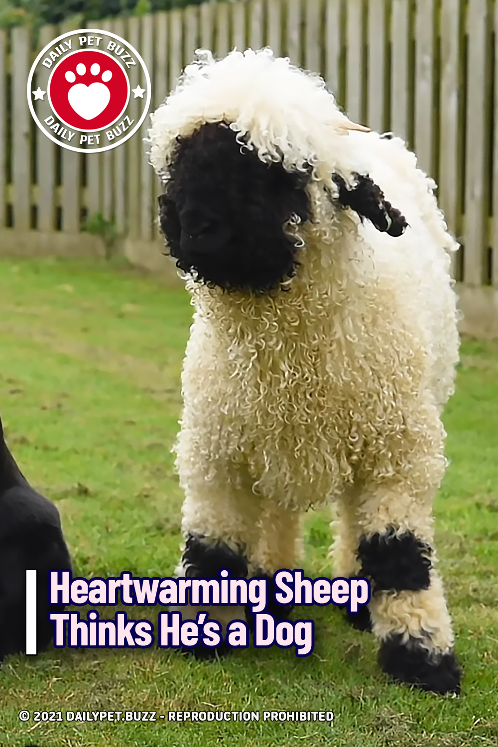 Heartwarming Sheep Thinks He's a Dog