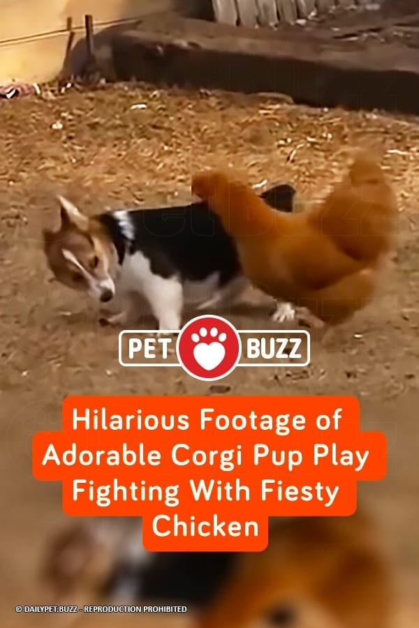 Hilarious Footage of Adorable Corgi Pup Play Fighting With Fiesty Chicken