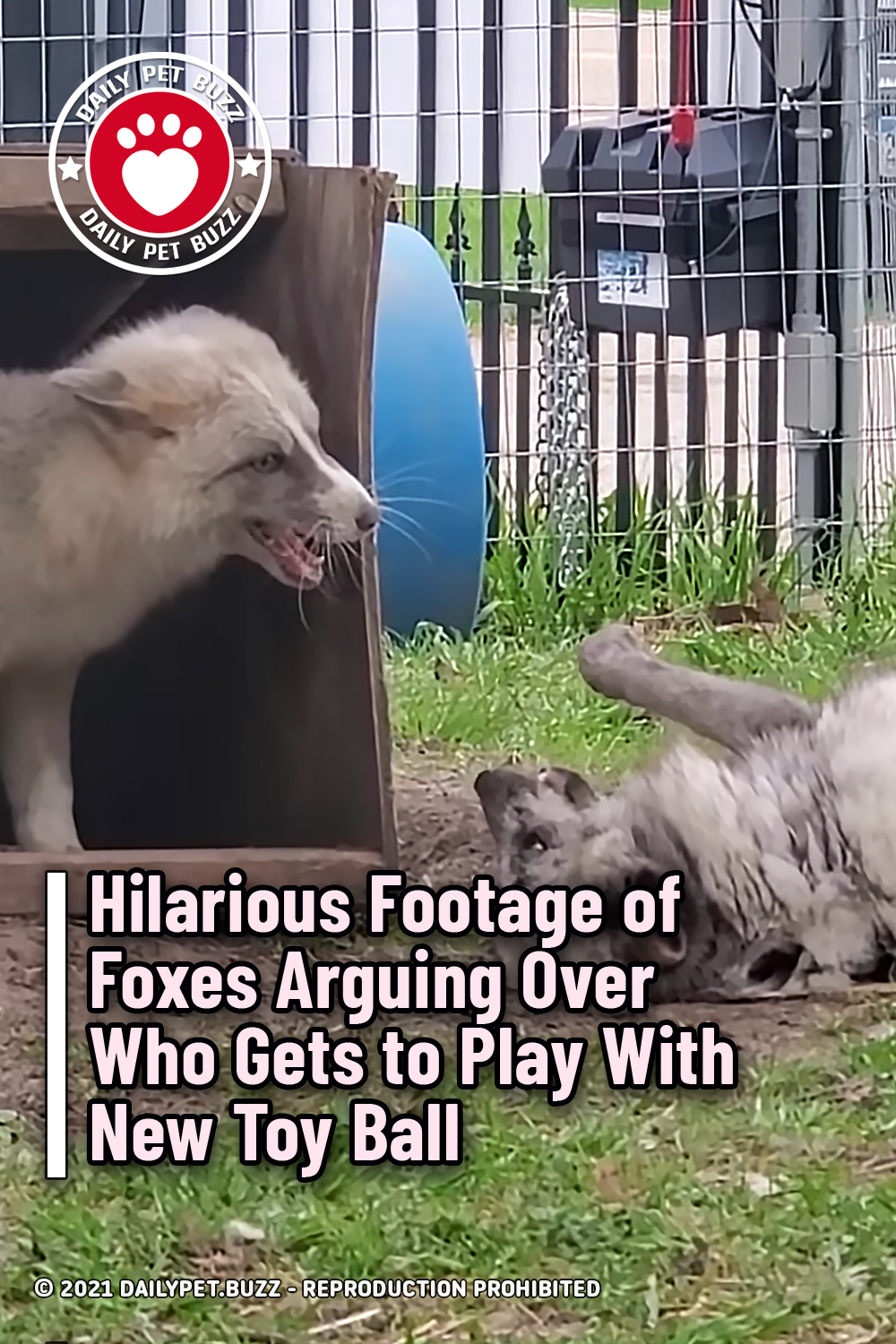 Hilarious Footage of Foxes Arguing Over Who Gets to Play With New Toy Ball