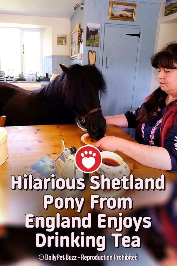 Hilarious Shetland Pony From England Enjoys Drinking Tea