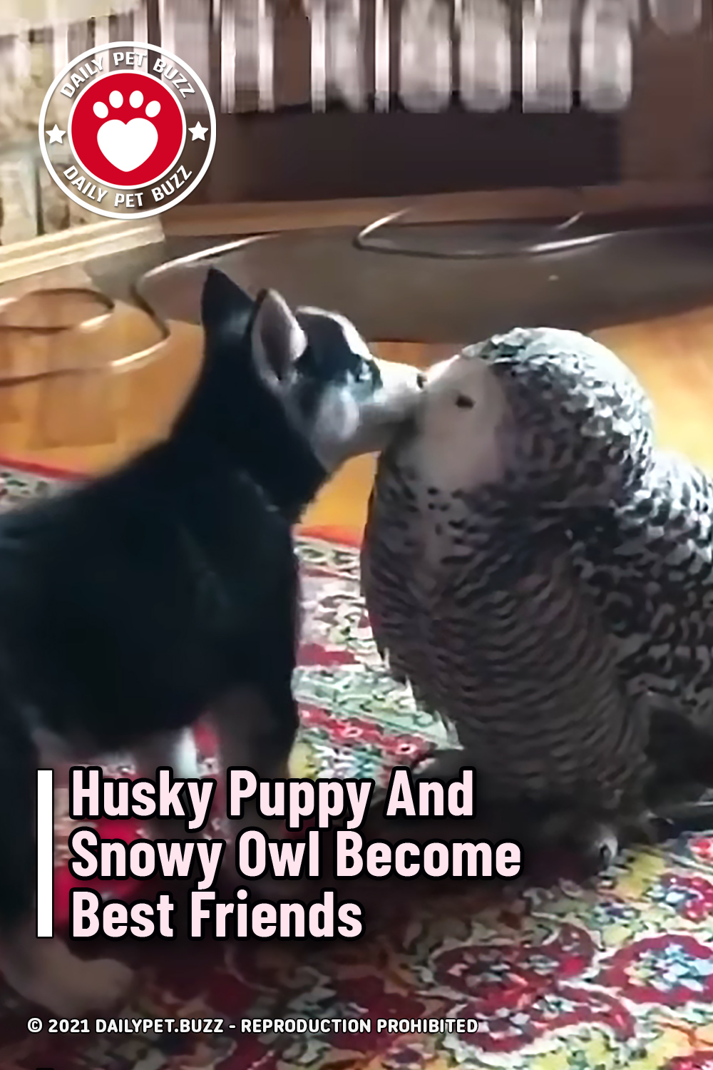 Husky Puppy And Snowy Owl Become Best Friends