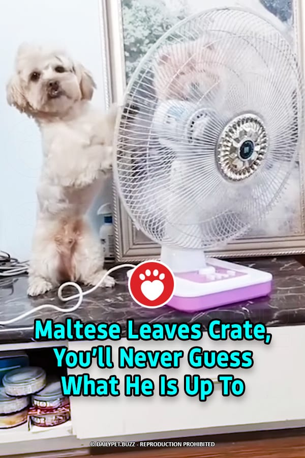 Maltese Leaves Crate, You'll Never Guess What He Is Up To
