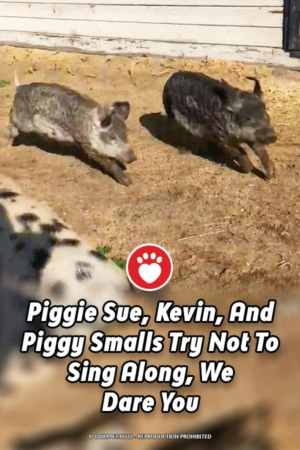 Piggie Sue, Kevin, And Piggy Smalls Try Not To Sing Along, We Dare You