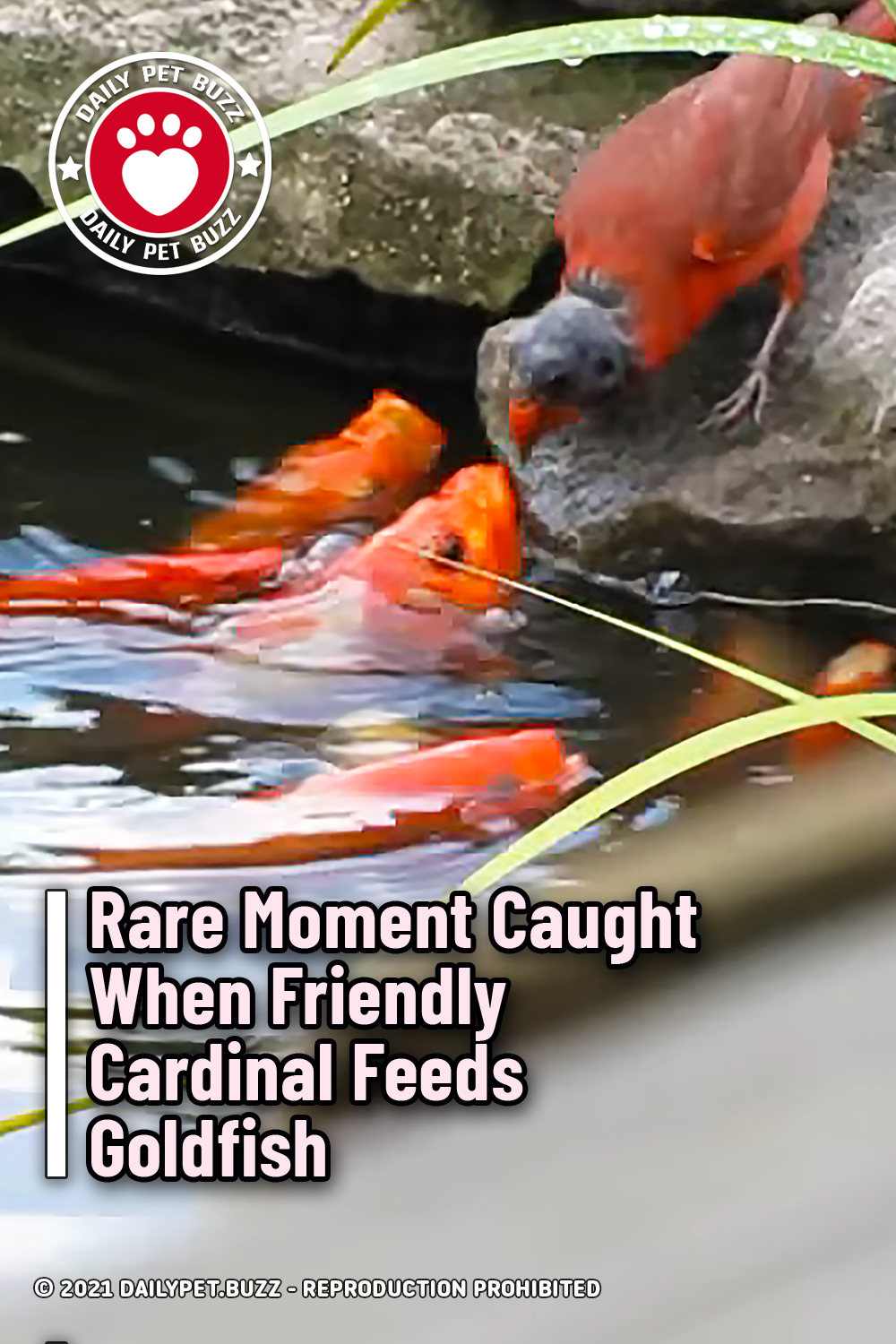 Rare Moment Caught When Friendly Cardinal Feeds Goldfish