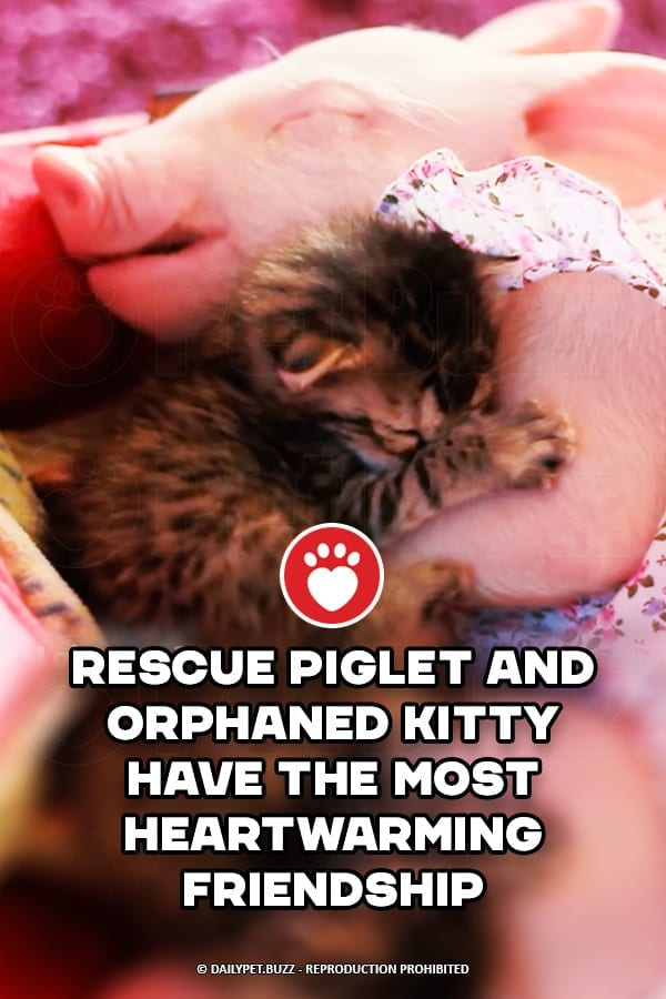 Rescue Piglet And Orphaned Kitty Have The Most Heartwarming Friendship