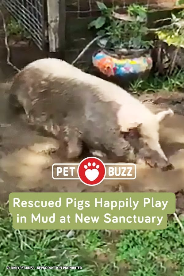 Rescued Pigs Happily Play in Mud at New Sanctuary