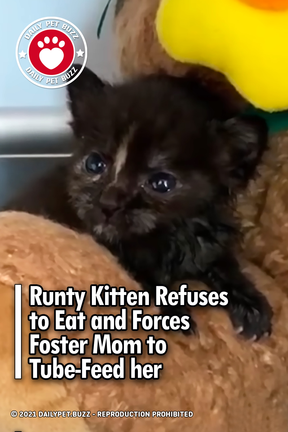 Runty Kitten Refuses to Eat and Forces Foster Mom to Tube-Feed her