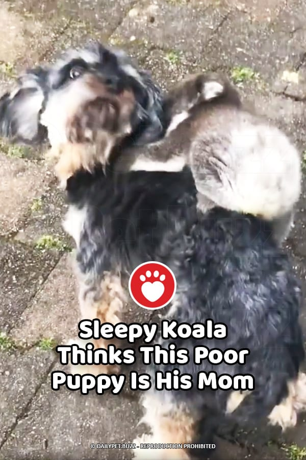 Sleepy Koala Thinks This Poor Puppy Is His Mom