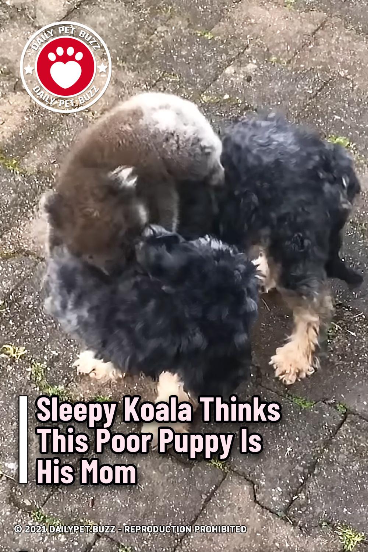 Sleepy Koala Thinks This Poor Puppy Is His Mom