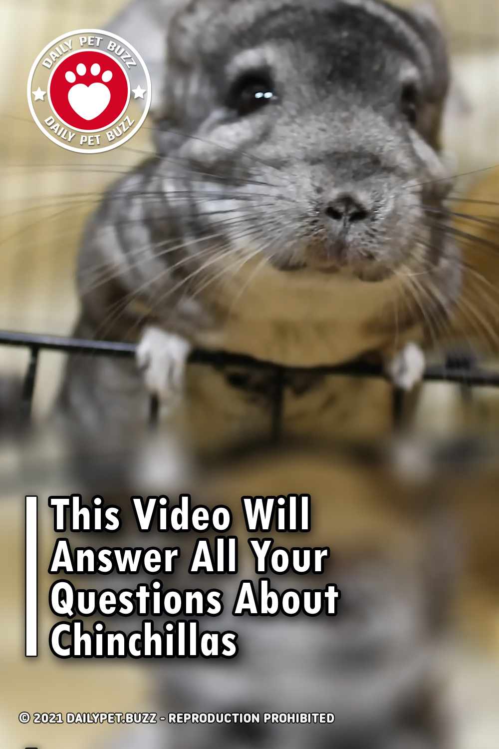 This Video Will Answer All Your Questions About Chinchillas