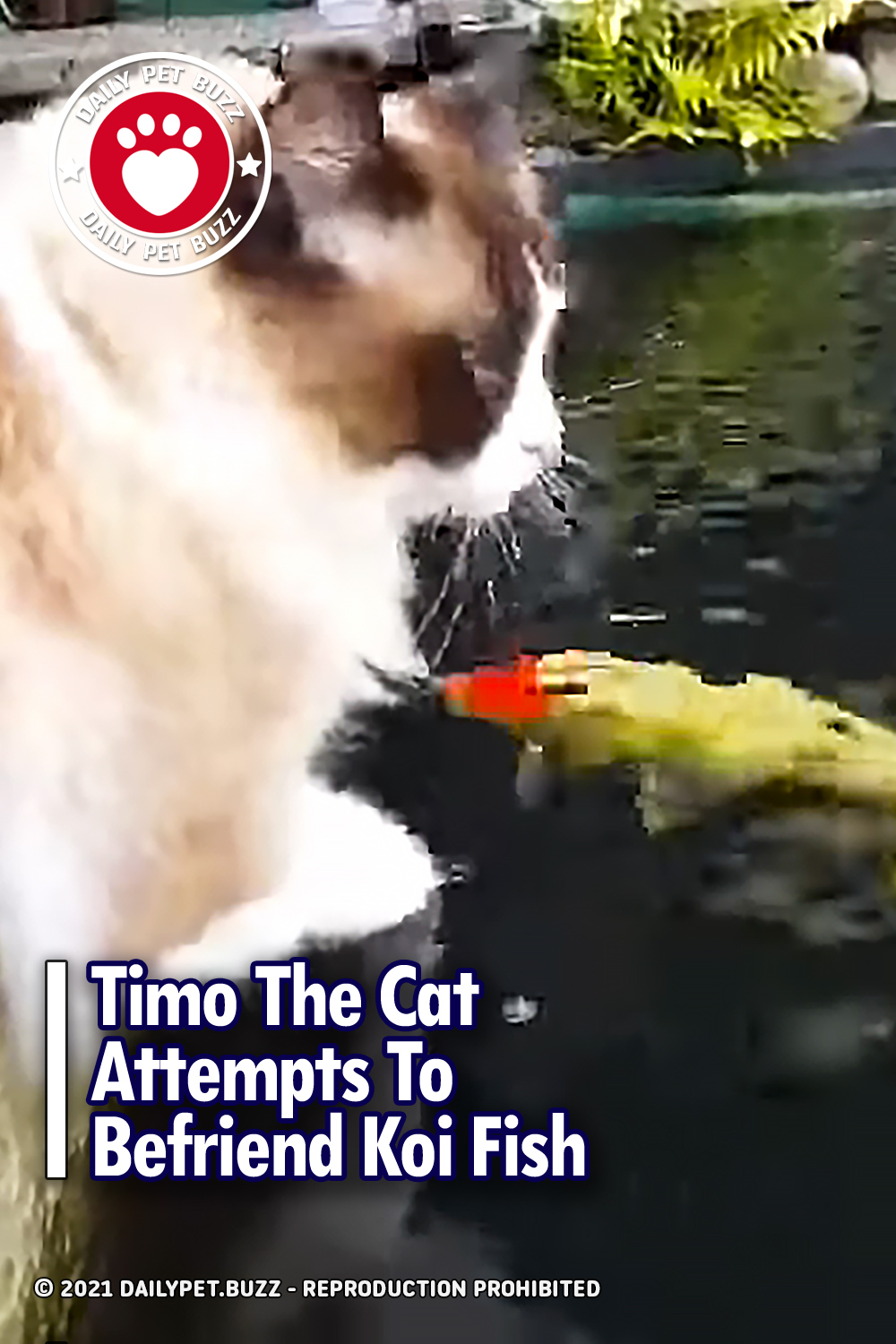 Timo The Cat Attempts To Befriend Koi Fish