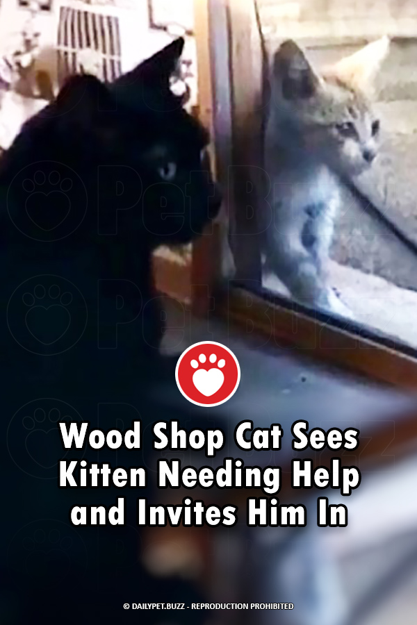 Wood Shop Cat Sees Kitten Needing Help and Invites Him In