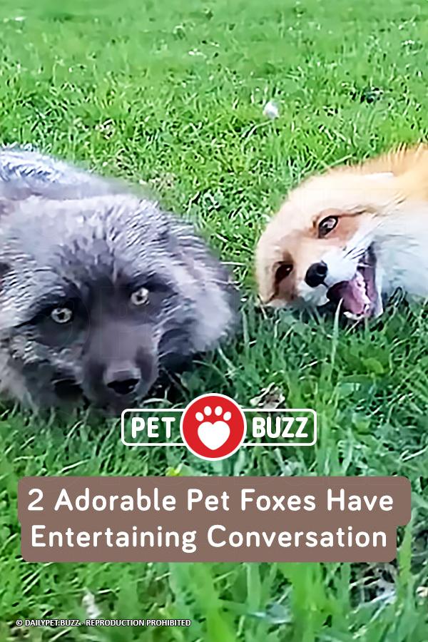2 Adorable Pet Foxes Have Entertaining Conversation