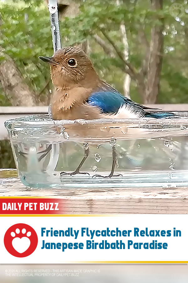 Friendly Flycatcher Relaxes in Janepese Birdbath Paradise