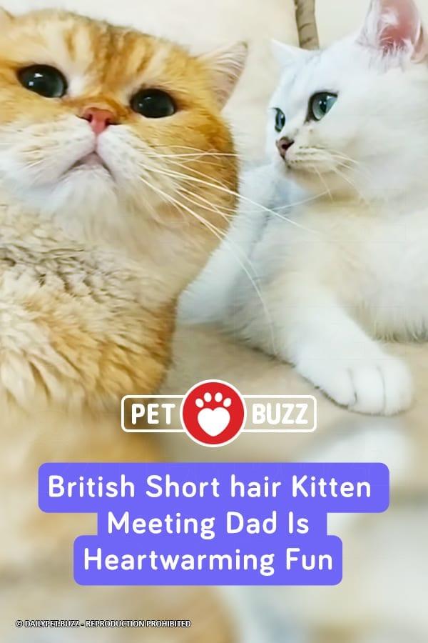 British Shorthair Kitten Meeting Dad Is Heartwarming Fun