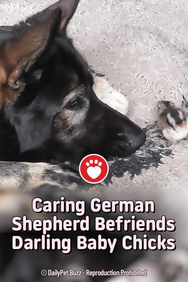 Caring German Shepherd Befriends Darling Baby Chicks