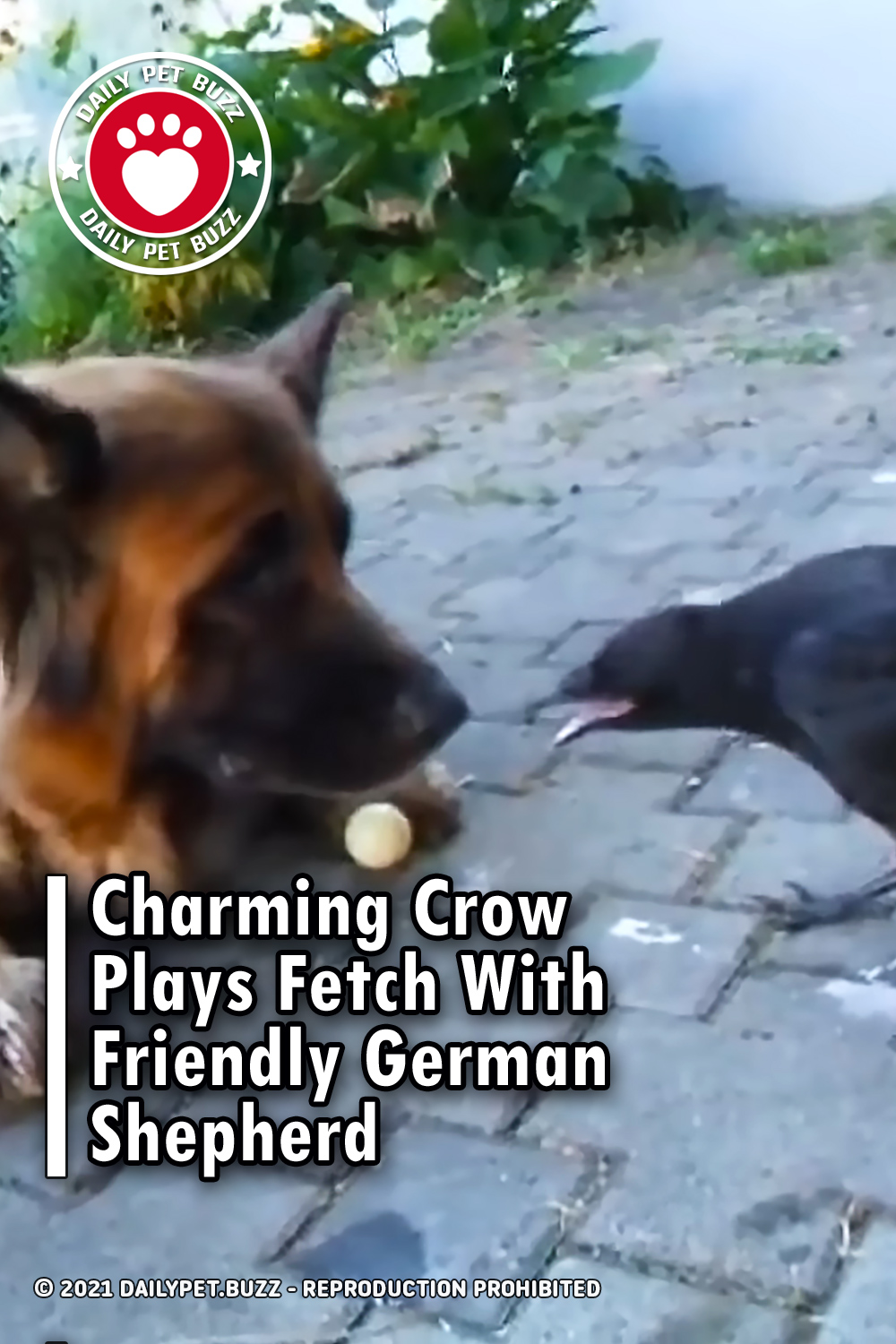 Charming Crow Plays Fetch With Friendly German Shepherd